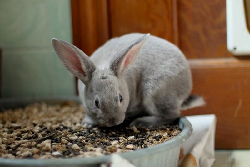 litter box trained Velveteen Lop Mini Rex bunnies