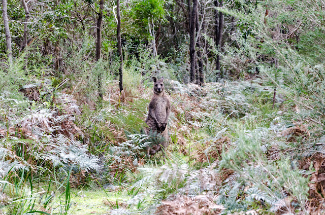 wallaby on walking track