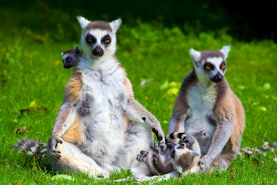 Familia de lmures - Nombre en latn: Lemur Catta 
