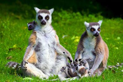 Familia de lémures - Nombre en latín: Lemur Catta