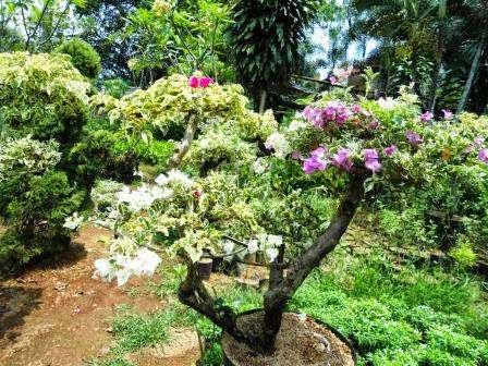 Jual bonsai bougenville ( bunga kertas) | tanaman bonsai dua warna sampai empat warna dalam satu pohon