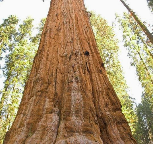 the biggest tree in the usa