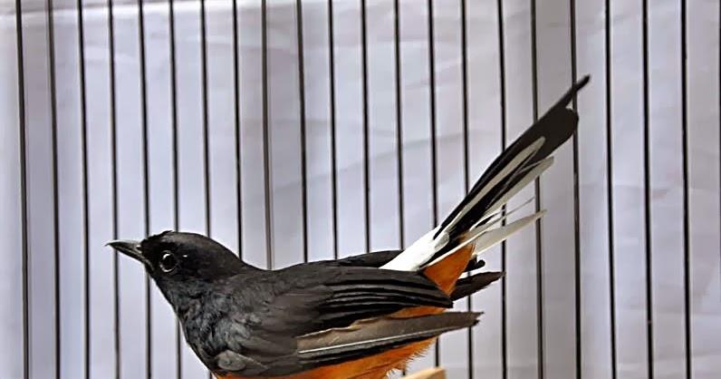 Budidaya Burung Daftar Harga Murai Batu December