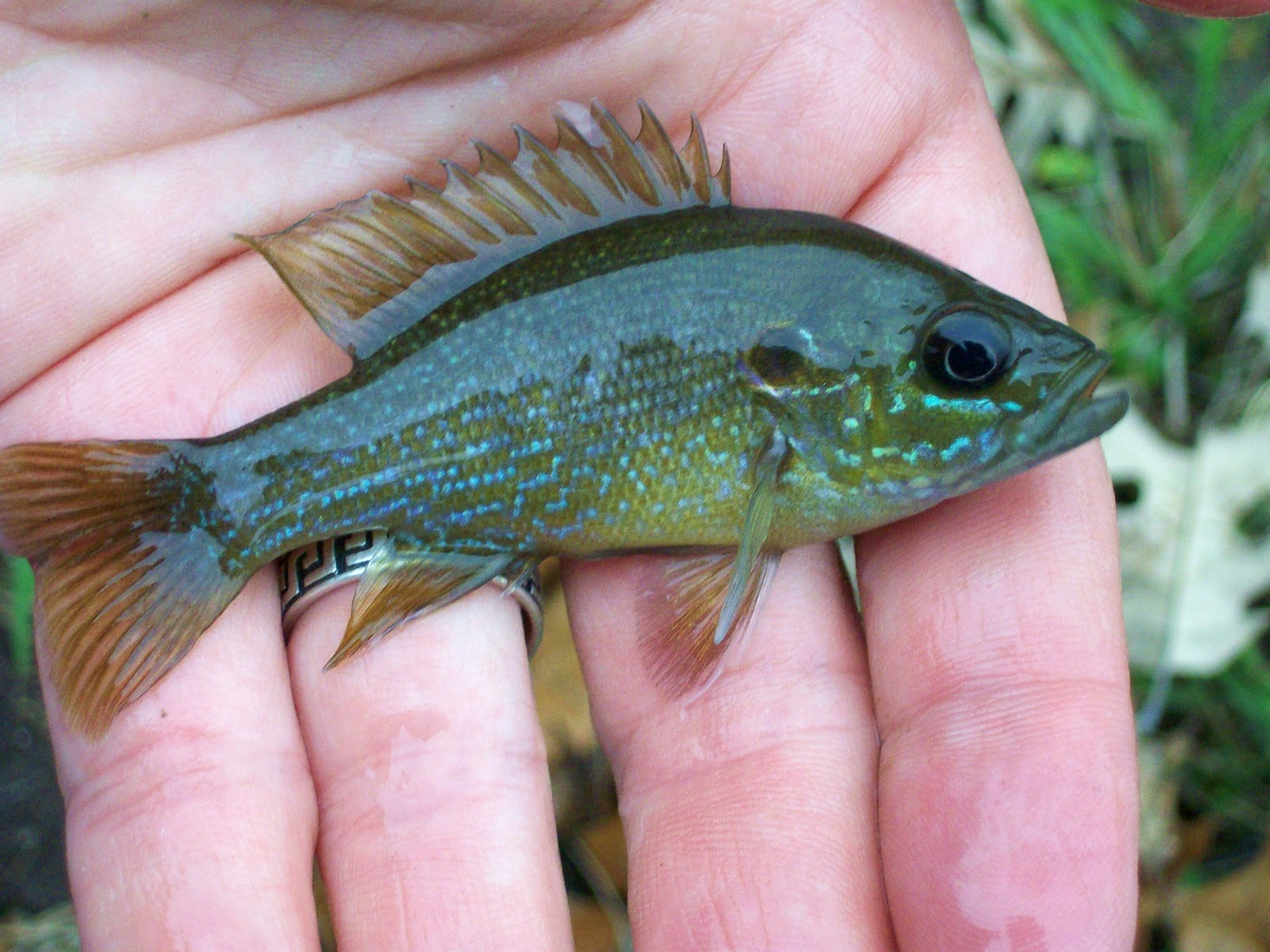 Natural Gault Fish