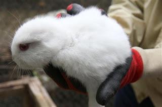 福島県で耳無しウサギ産れる 遺伝子異常?