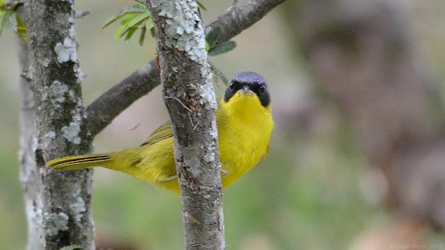 Masked Yellowthroat Geothlypis aequinoctialis aequinoctialis Pia-cobra Arañero cara negra