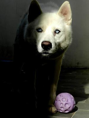 Husky branco - Husky White