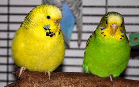 parakeet colors - photo #45