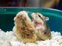 Hamster Anda Sedang Berkelahi Atau Bermain Yaa ?