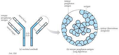 Struktur antibodi yang khas