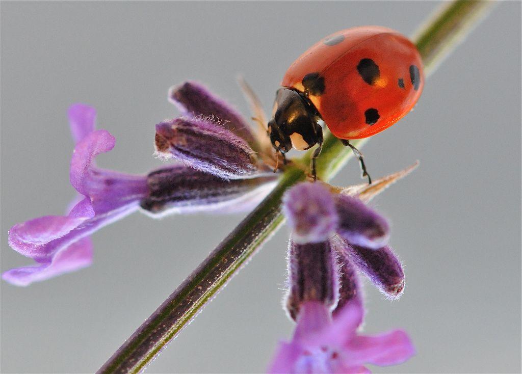 3.  Ladybird on lavender