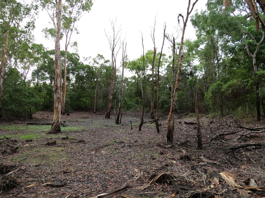 Paperbark swamp affected by seawater