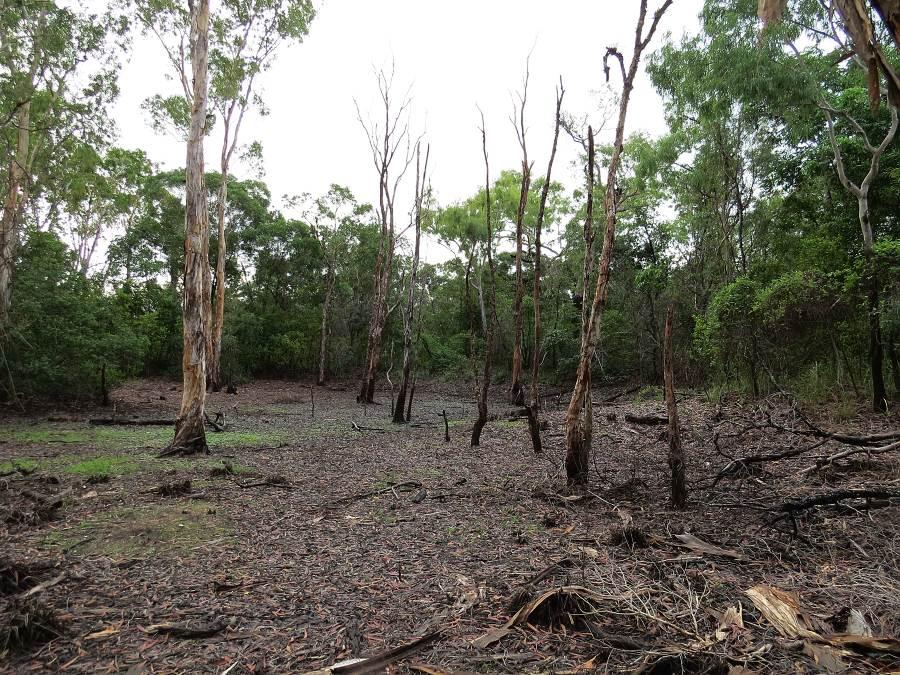 Paperbark swamp affected by seawater