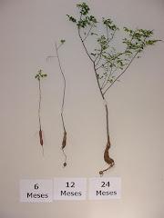 Plantas de imbuzeiro jovens de imbuzeiro