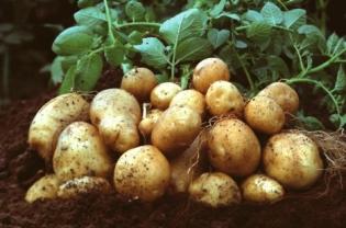 klasifikasi kentang