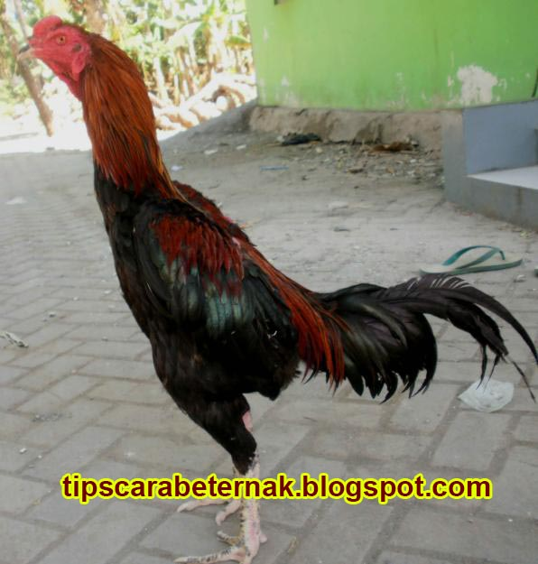 Tips dan Cara Beternak Ayam Bangkok | Tips Cara Beternak