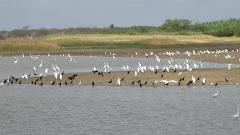 Garças e biguás em lagoa na caatinga