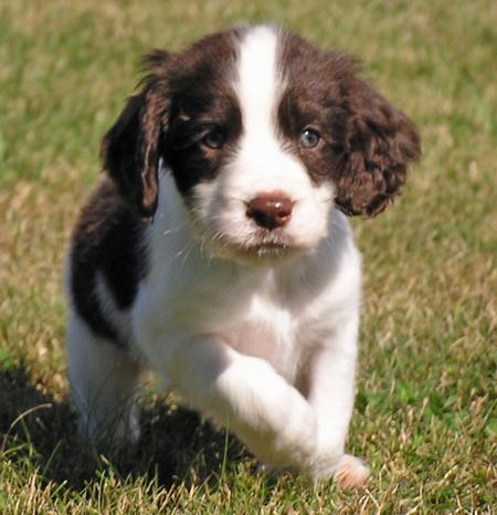 English Springer Spaniel Puppy Pictures