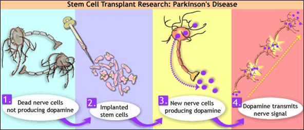 Quot Stem Cells Quot Key To Human Health Neurodegenrative