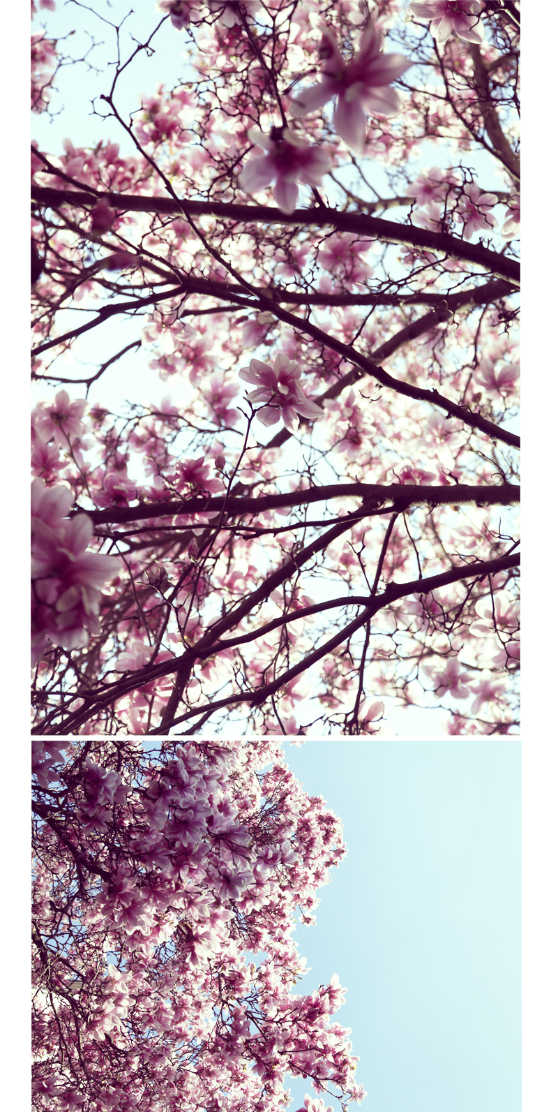 magnolia dans le ciel