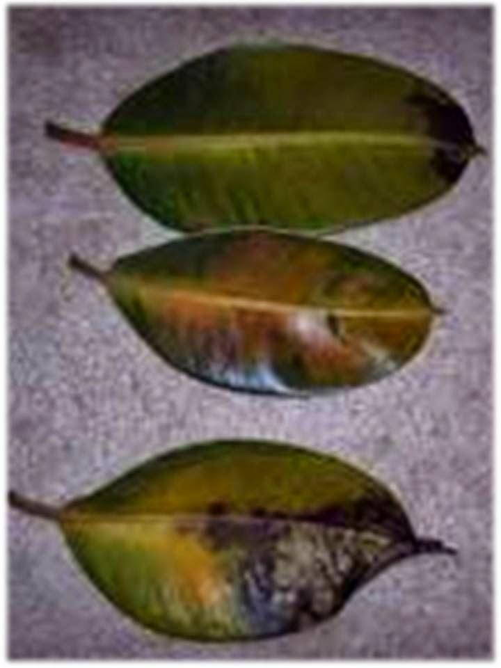 Plantas m gicas el ficus rbol del caucho jardiner a - Ficus elastica cuidados ...