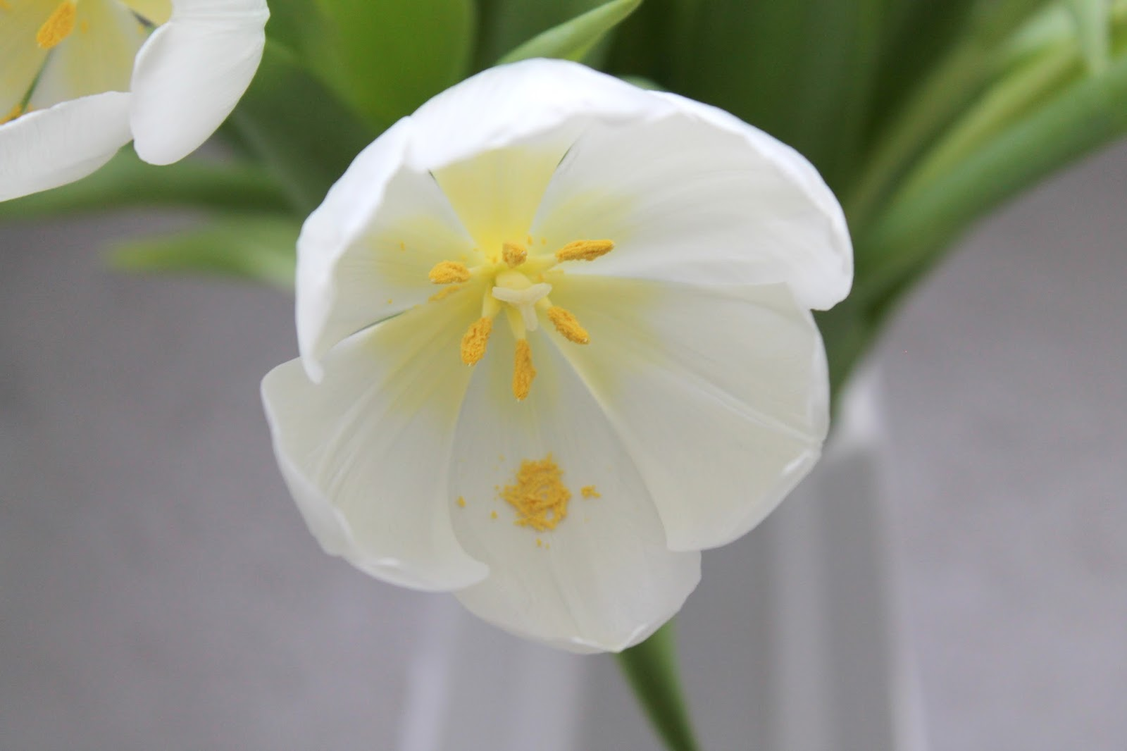 Weisse Tulpen Bluete