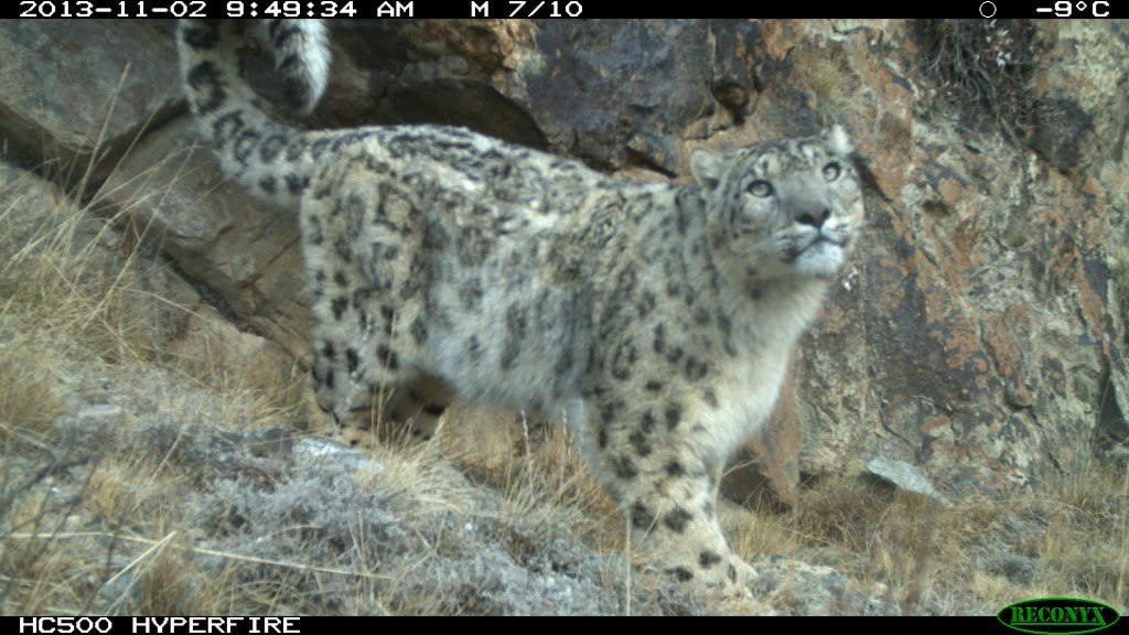 Snow leopard poaching - photo#7