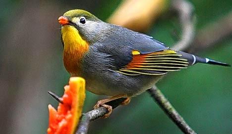 http://disiniweb.blogspot.com/2014/10/cara-melatih-suara-burung-ocehan.html