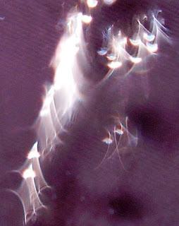 orb veil