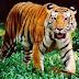 Selamanya Harimau Malaya