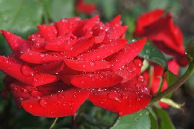 Rainy Red Passion - by Maja Trochimczyk
