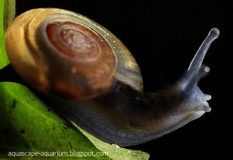 Aquarium algae eater ramshorn snails aquascape for Fish tank snails