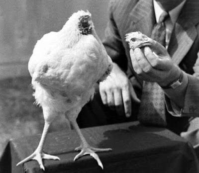 Ayam Ini Tetap Hidup Tanpa Kepala Selama 18 Bulan
