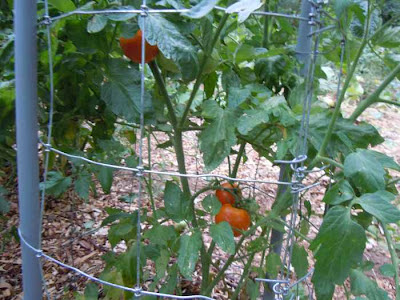 ripe tomatoes on plant