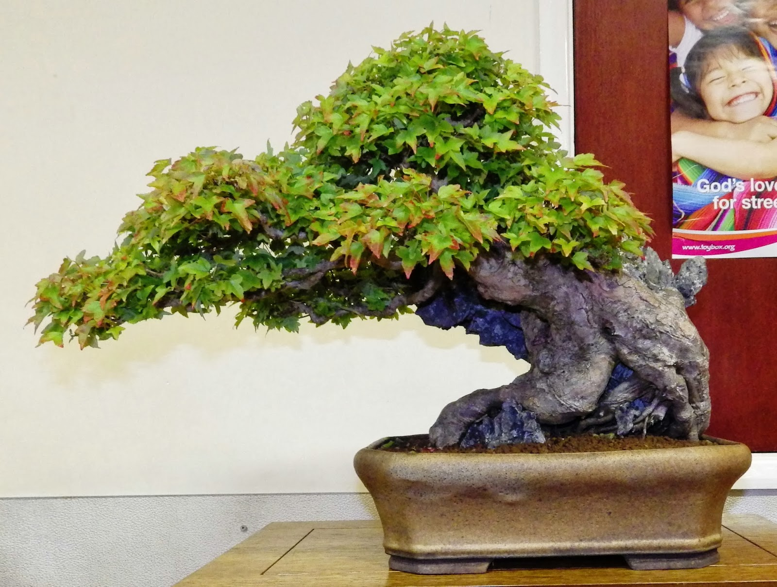 Ashfield Bonsai Club Ashfield39s Annual Competition