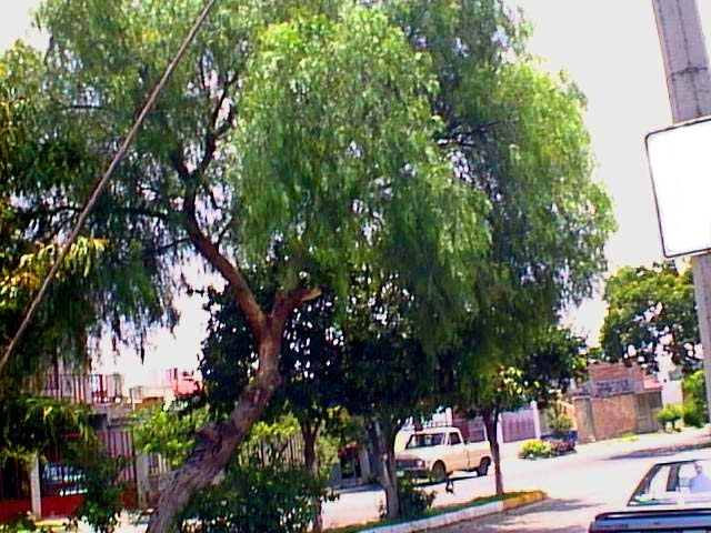 Pirul rboles de nayarit for Arboles para sombra de poca raiz