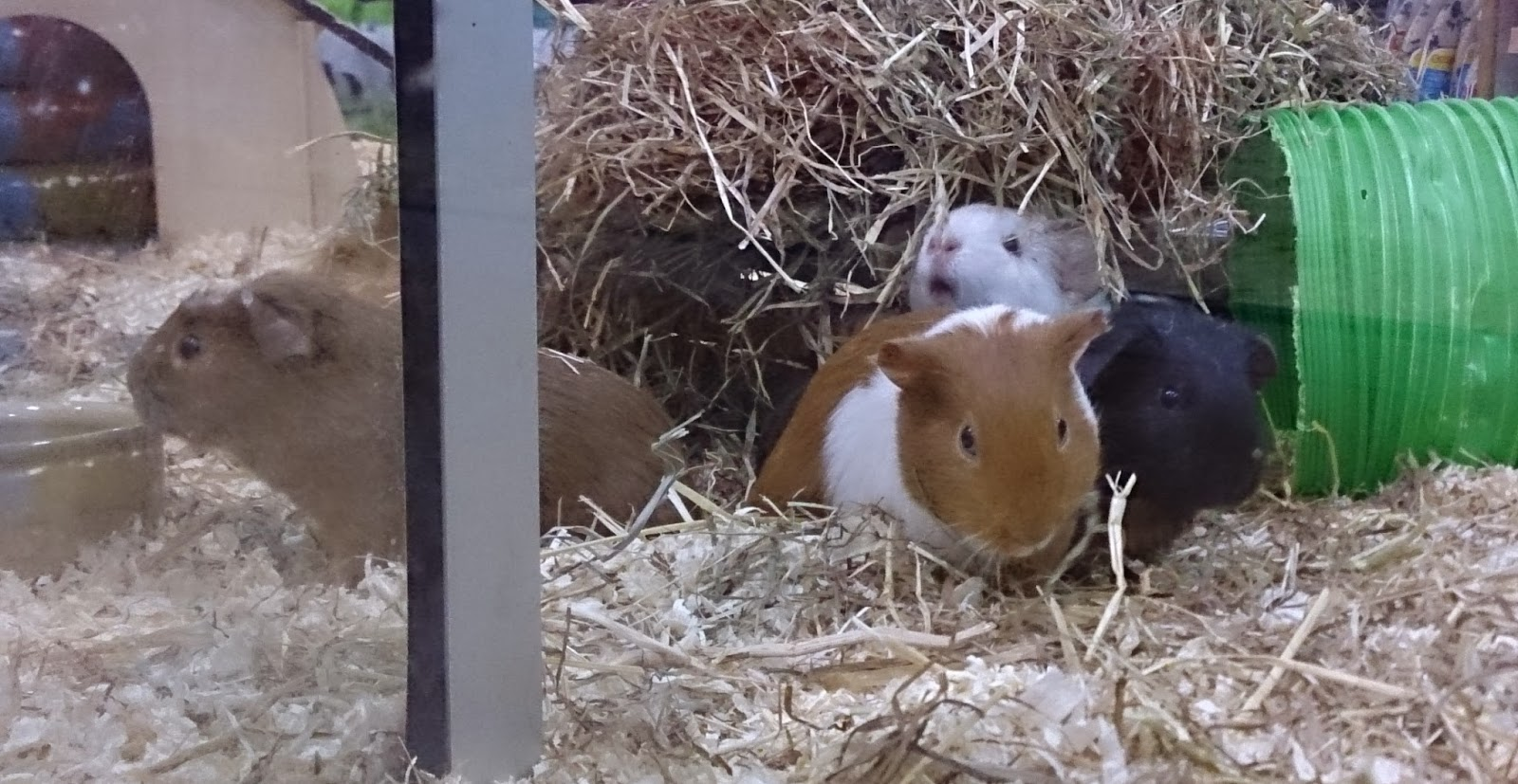 guinea pigs gerbils hamsters chinchillas rats rabbits furry animals pets at home pet animal tunnel hay cage wheel running cleaning licking grooming dog clothes collars leads jackets coats jumpers treats food toys