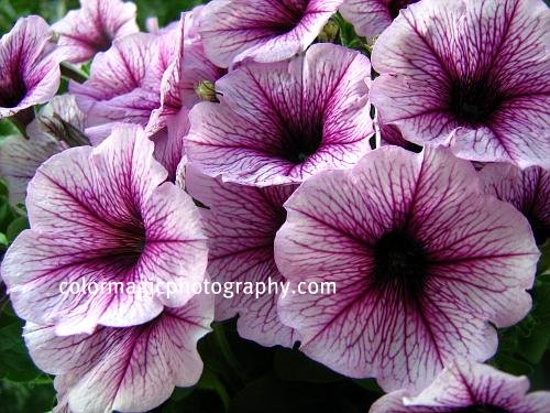 Purple petunia close-up photo