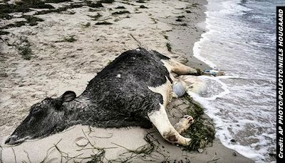 Bound, Mutilated Cows Washing Ashore in Sweden Baffle Authorities 1-8-14