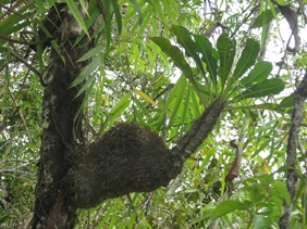 http://tipspetani.blogspot.com/2014/12/info-tumbuhan-sarang-semut.html