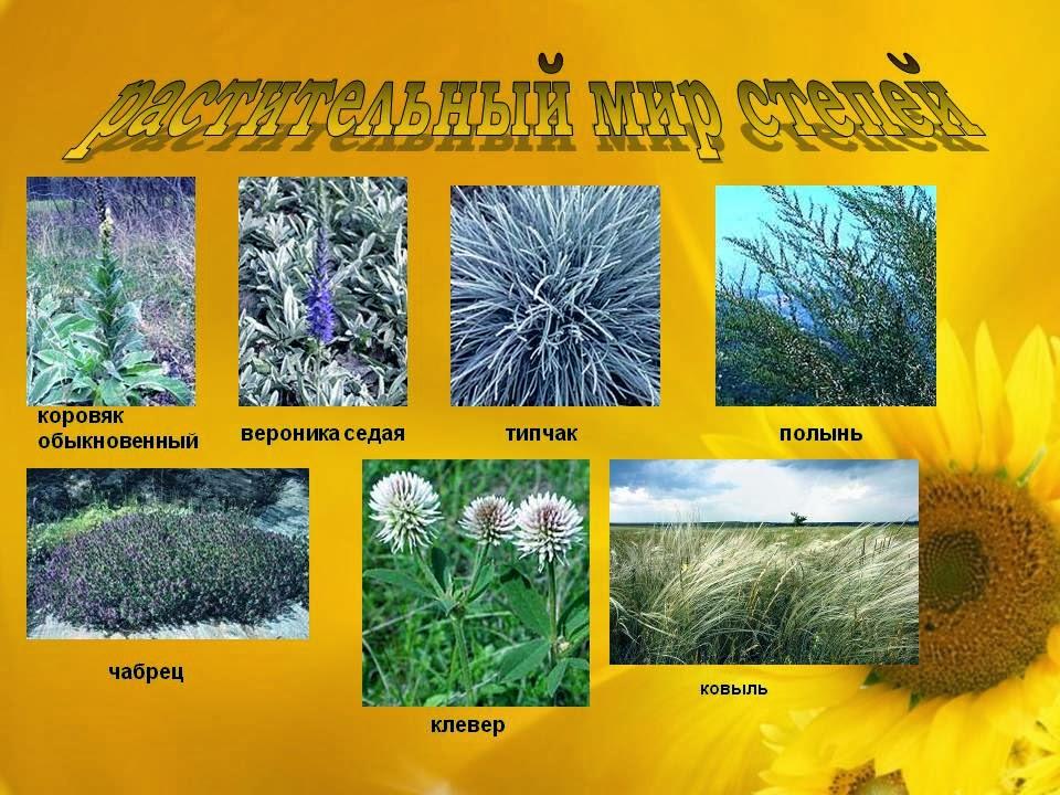 растение степной зоны фото и описание