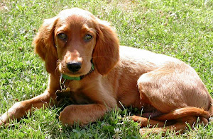 RECOMMENDED SITES  Irish Setter Training