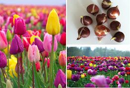 Turkey national flower, TULIP