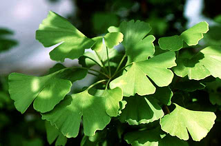 image of ginko biloba herbal treatment of erectile dysfunction home remedy