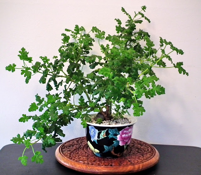 Pelargonium Quercifolium, oak-shaped balsam-scented leaves