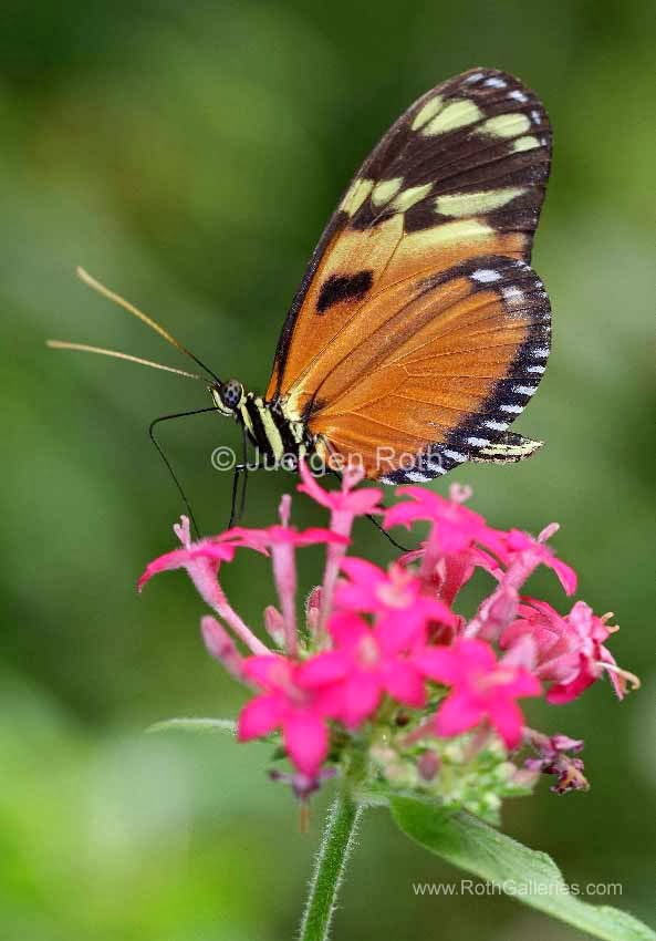 http://juergen-roth.artistwebsites.com/art/all/butterflies/all