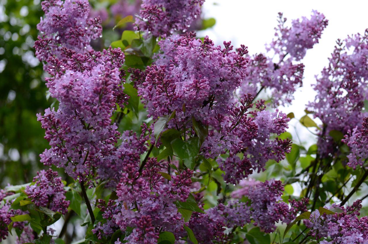Lilac Time Flower Hill Farm Retreat