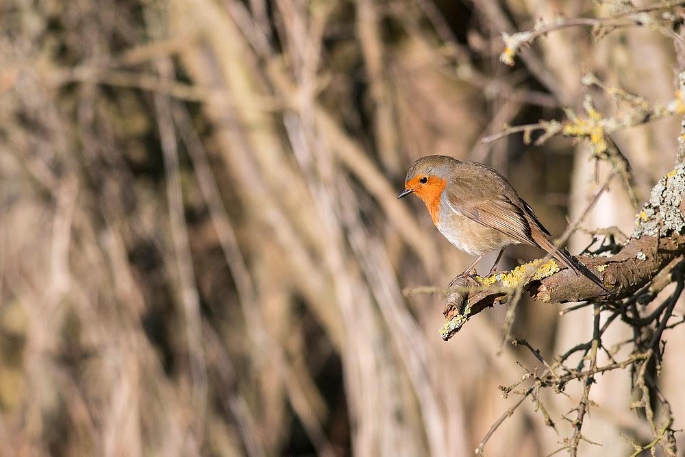 Canal side Robin, Wolverton, Milton Keynes