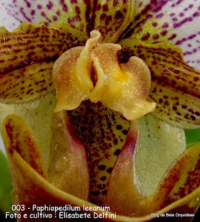 Paphiopedilum leeanum do blogdabeteorquideas