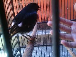 Tips Cara Perawatan Burung Decu Yang Tidak Terlalu Repot : Perawatan Burung Harian Dan Perawatan Burung Decu Agar Cepat Gacor